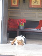 Hotel dog (PC Dad)